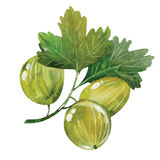 Watercolor gooseberry Stock Images