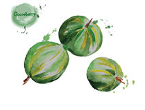 Watercolor gooseberry. Vecor illustration. Royalty Free Stock Images