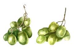 Watercolor grape. Stock Image