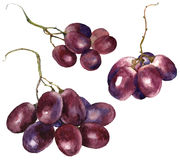Watercolor grape. Royalty Free Stock Images