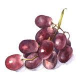 Watercolor grape. Stock Image