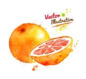Watercolor grapefruit Stock Photos