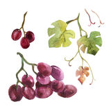 Watercolor grapes Stock Image