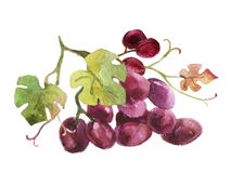 Watercolor Grapes Isolated On White Background Royalty Free Stock Photo