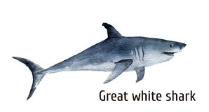 Watercolor great white shark. White death shark isolated on white background. For design, prints, background, t-shirt Stock Photos