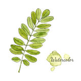 Watercolor green acacia branch with leaves isolated. Hand drawn vector illustration. Stock Photography