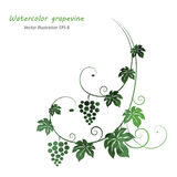 Watercolor green grape vine Royalty Free Stock Photography