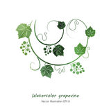 Watercolor green grape vine Stock Photo