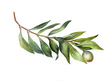 Watercolor green oil brunch on white background. Botanical watercolor art with green oil brunch on white background Royalty Free Stock Photos