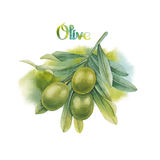 Watercolor green olive branch Royalty Free Stock Images
