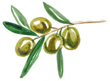 Watercolor green olives Royalty Free Stock Photos