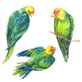 Watercolor Green Parrot on White Background Royalty Free Stock Image