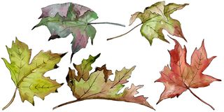 Watercolor green and red maple leaves. Leaf plant botanical garden floral foliage. Isolated illustration element. Aquarelle leaf for background, texture royalty free illustration