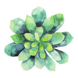Watercolor green succulent Royalty Free Stock Image
