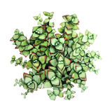 Watercolor green succulent Stock Images