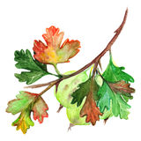 Watercolor green yellow orange gooseberry berry leaf branch isolated.  Stock Images