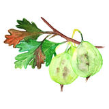 Watercolor green yellow orange gooseberry berry leaf branch isolated Stock Images