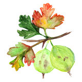 Watercolor green yellow orange gooseberry berry leaf branch isolated Royalty Free Stock Images