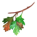 Watercolor green yellow orange gooseberry leaf branch isolated Stock Images