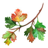 Watercolor green yellow orange gooseberry leaf branch isolated Stock Photography