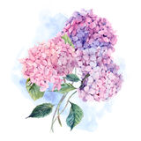 Watercolor Greeting Card with Hydrangea Stock Images