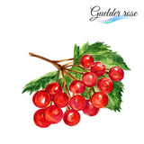 Watercolor guelder rose Royalty Free Stock Image