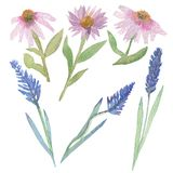 Watercolor hand composition, Echinacea angustifolia and lavender purple. Plants Echinacea and lavender. Watercolor illustrations isolated on white background stock illustration