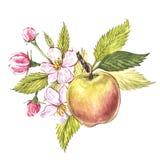 Watercolor hand drawn apple. Eco natural food fruit illustration. Botanical illustration isolated on white background. Watercolor hand drawn apple. Eco natural Stock Photo