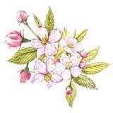 Watercolor hand drawn apple flowers. Eco natural food fruit illustration. Botanical illustration isolated on white. Background Stock Image
