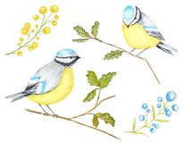 Watercolor Birds BlueTit sitting on the Branch, isolated on white background. stock illustration