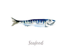 Watercolor hand drawn fish.  fresh seafood illustration on white background. Watercolor hand drawn fish.  fresh seafood illustration Royalty Free Stock Images