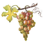 Watercolor hand drawn illustration of bunch of grapes vector illustration
