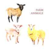 Watercolor hand drawn illustration of sheeps. Royalty Free Stock Photography