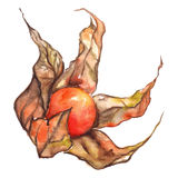 Watercolor hand drawn physalis winter cherry cape gooseberry fruit berry isolated Stock Images