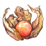 Watercolor hand drawn physalis winter cherry cape gooseberry fruit berry isolated Royalty Free Stock Photo