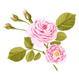 Watercolor hand drawn rose isolated on white background Stock Photos