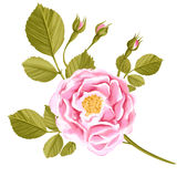 Watercolor hand drawn rose isolated on white background Royalty Free Stock Photos