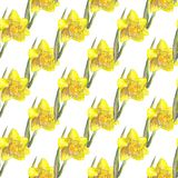 Watercolor hand drawn seamless pattern with bright yellow narcissus flower on the white background. stock illustration