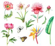 Set of flowers and butterflies. Watercolor hand drawn summer set of flowers and butterflies apollo and monarch. Poppy, peony, strelizia and amaryllis flowers Stock Photography