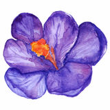 Watercolor Hand Drawn Violet Purple Crocus Flower Isolated Stock Photos