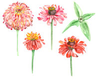 Watercolor hand drawn Zinnia Royalty Free Stock Photos