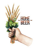 Watercolor hand with malt bunch. Watercolor hand holding the bunch of malt and hop isolated on white background royalty free stock image