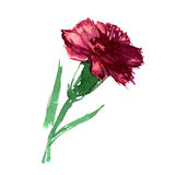 Watercolor hand painted carnation isolated Royalty Free Stock Photography
