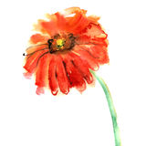 Watercolor hand painted gerberas on Royalty Free Stock Photo