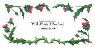 Head banner from thistles. Floral symbol of Scotland. Watercolor hand painted header frame Plants of Scotland. Thistle on a white background. Isolated, path vector illustration