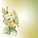 Watercolor hand painted illustration with callas in gentle tone. Invitation. Floral birthday card vector illustration