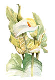 Watercolor hand painted illustration with callas in gentle tone. Invitation. Floral birthday card royalty free illustration