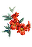 Watercolor hand painted illustration with red petunia on white background. N stock illustration
