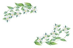 Free Watercolor Hand Painted Openwork Frame Bergamot Plant, With White Flowers On The Branches With Green Leaves. Royalty Free Stock Image - 137724686