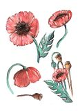 Watercolor Hand-painted poppy isolated elements on a white background royalty free illustration